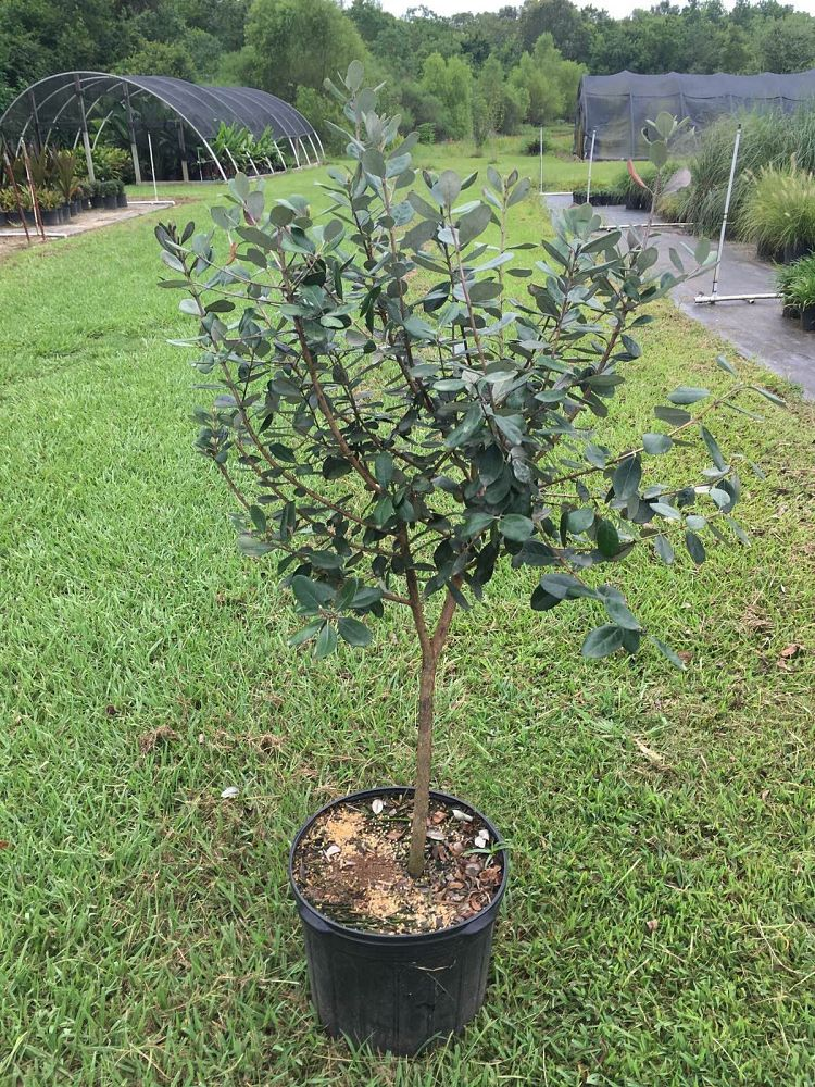 pineapple guava acca sellowiana pineapple guava feijoa sellowiana 1000714309 1469732929jpgwidth1000height1000imagepublicsupplierimagesplants1000714309 1469732929jpg