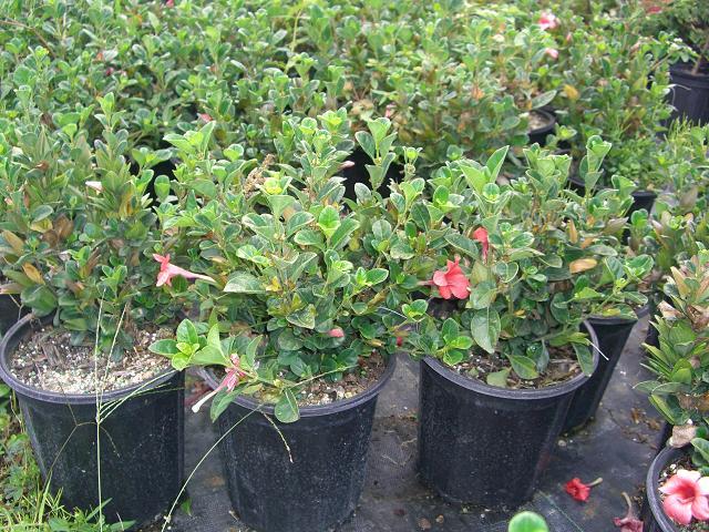 Bamboo Hammock Nursery Inc Plantant Com