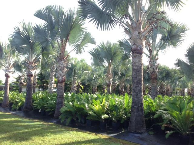 bismarckia palm seeds bismarckia nobilis silver bismarck palm 1000346946 1379079869jpgwidth1000height1000imagepublicsupplierimagesplants1000346946 1379079869jpg