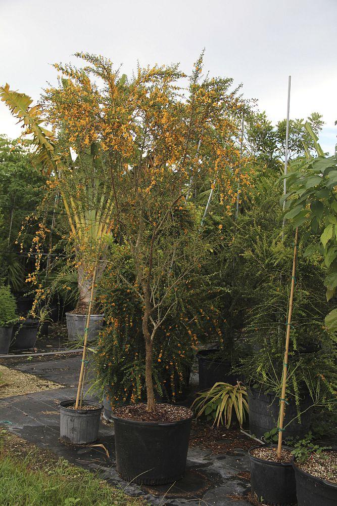 jamaican ebony tree