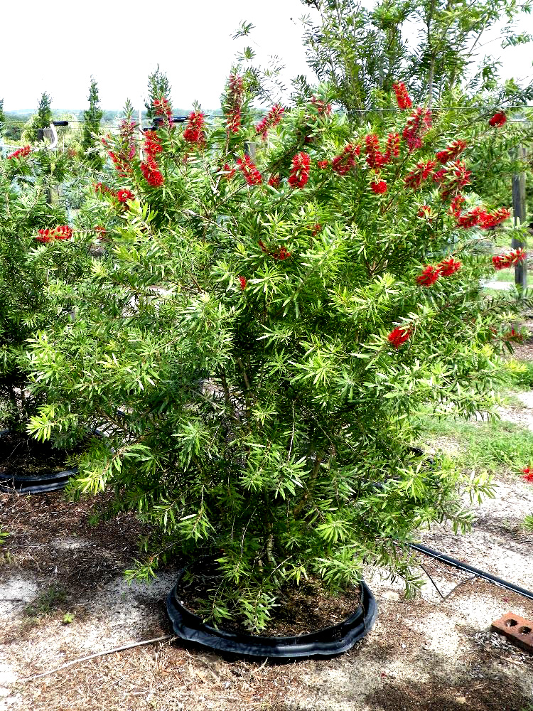 Callistemon Red Cluster Bottlebrush