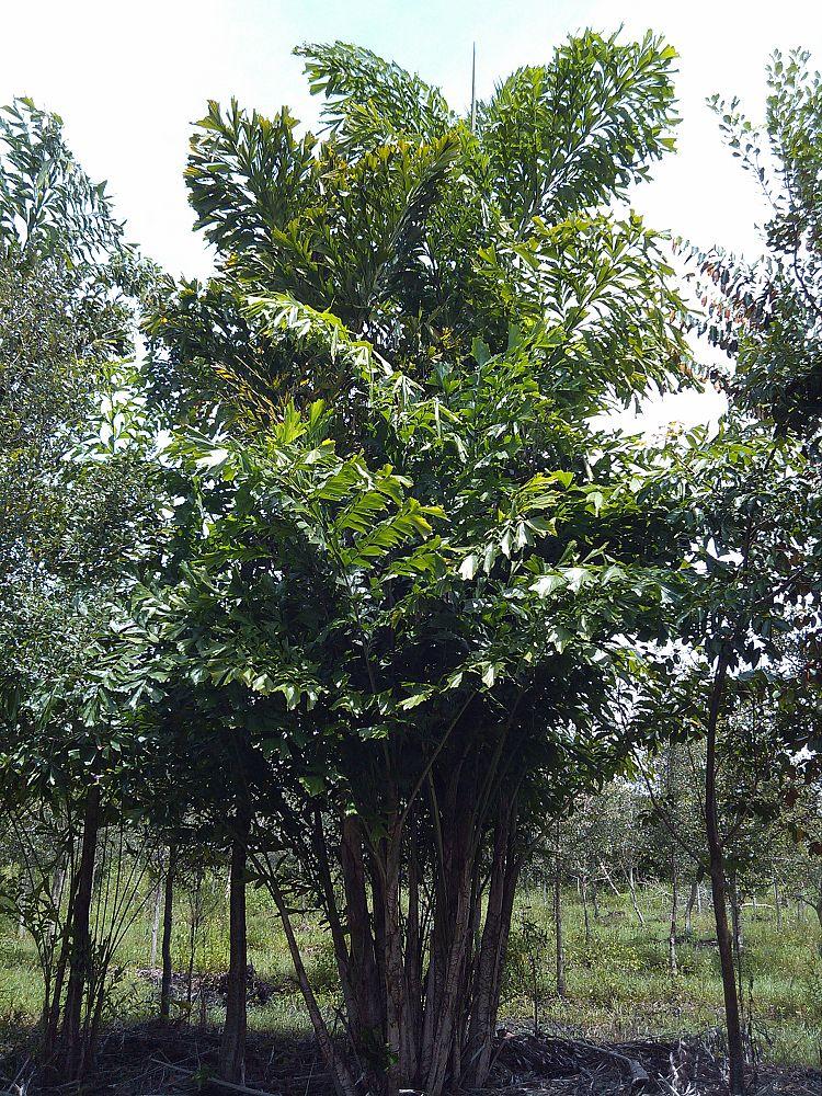 fishtail palm hedge - photo #19