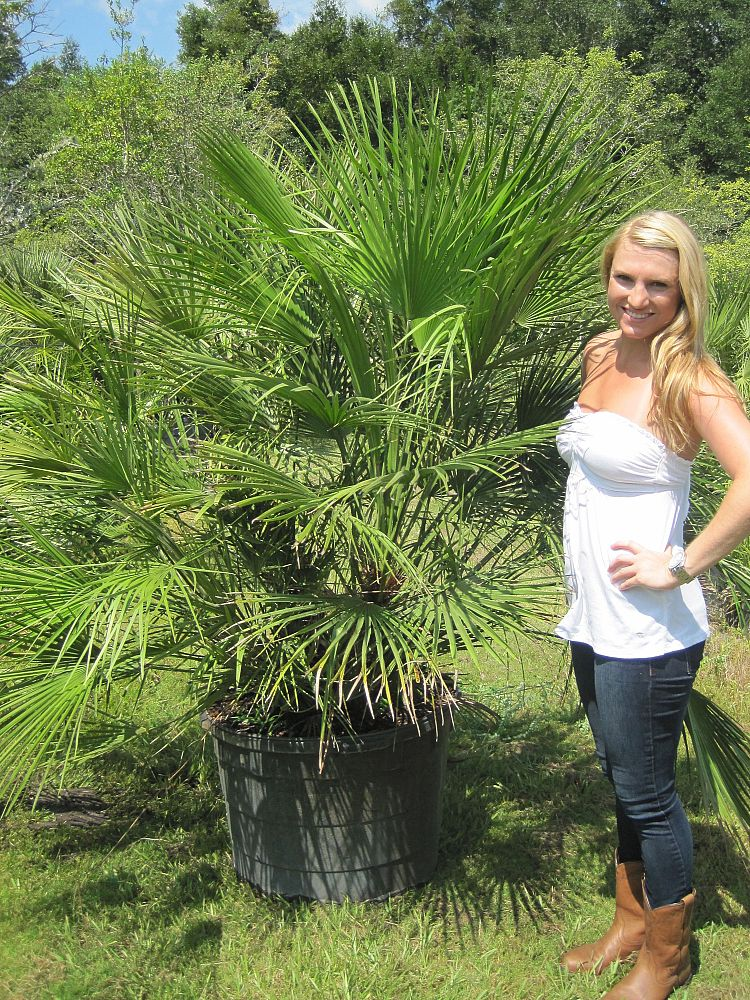 European Fan Palm Plantant Com