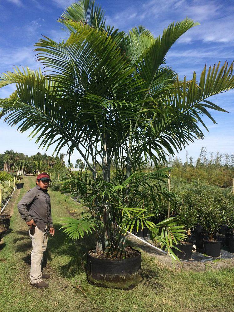 Cabada Palm Plantant Com