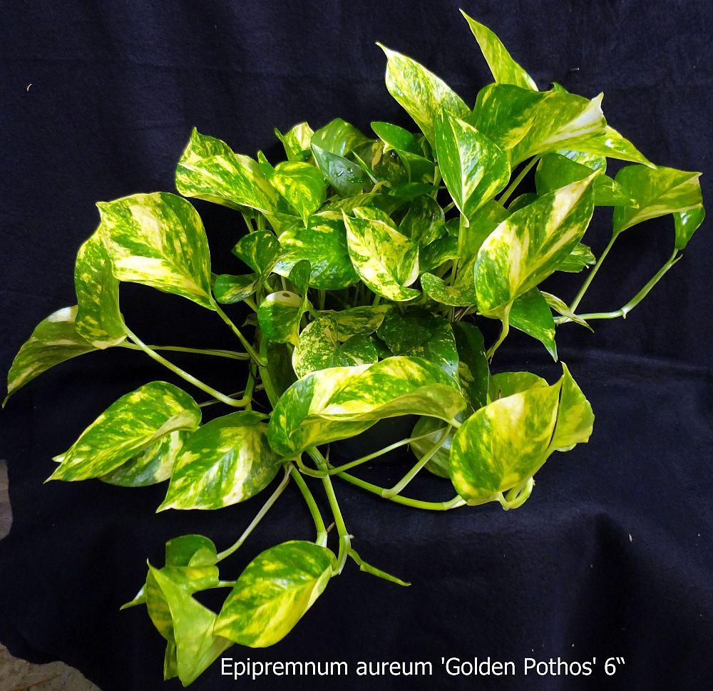 Epipremnum aureum golden pothos vine devil 39 s ivy for Golden pothos