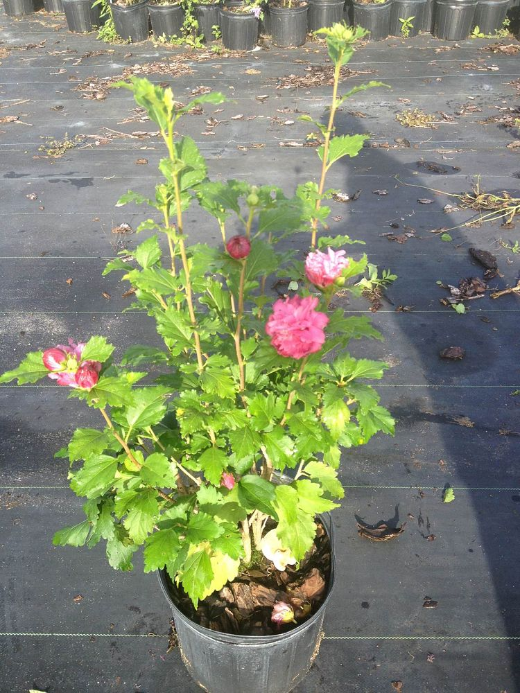 hibiscus syriacus 39 aphrodite 39 rose of sharon althea. Black Bedroom Furniture Sets. Home Design Ideas