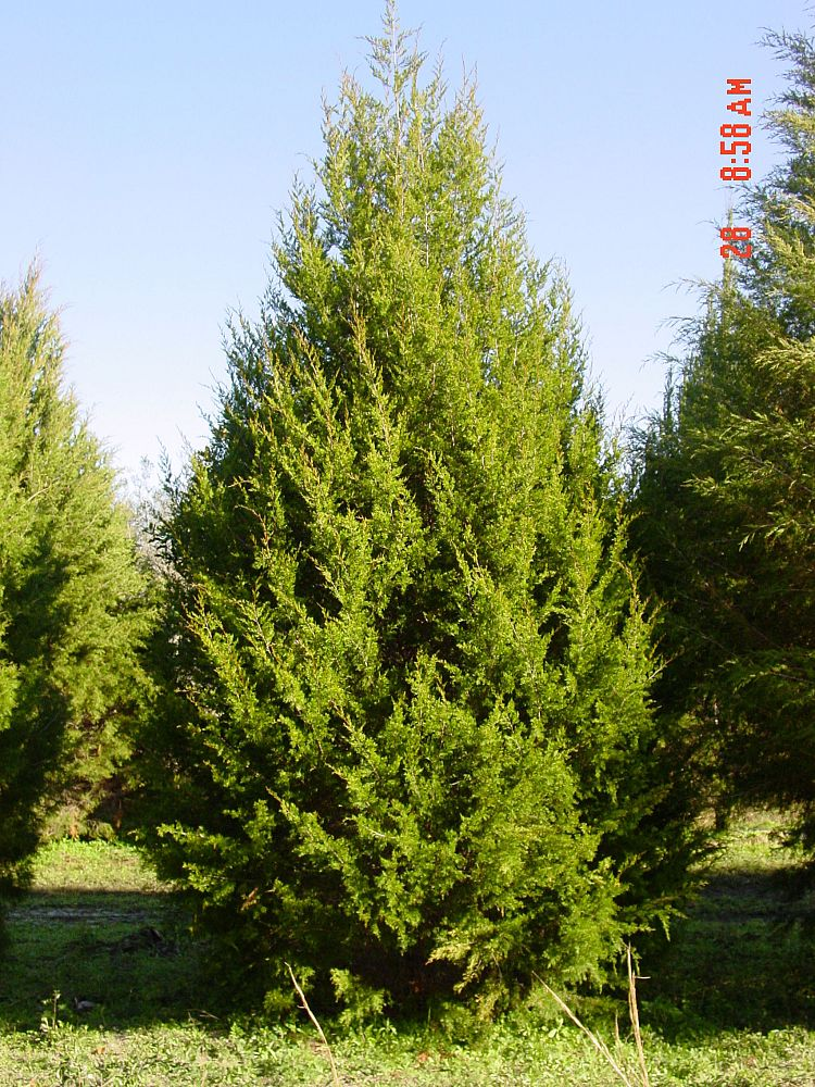 Southern Red Cedar ~ Call