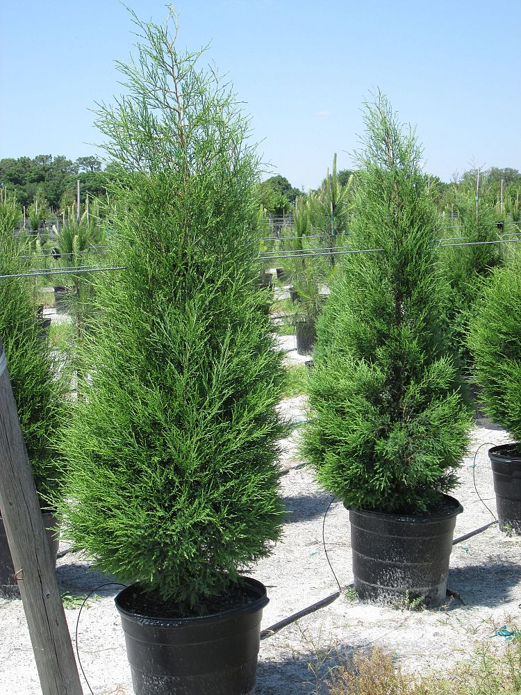 Southern Red Cedar ~ G quot full low branched grade ft ht
