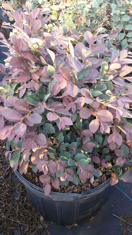 Loropetalum Chinense Rubrum Plum Delight Plantant Com