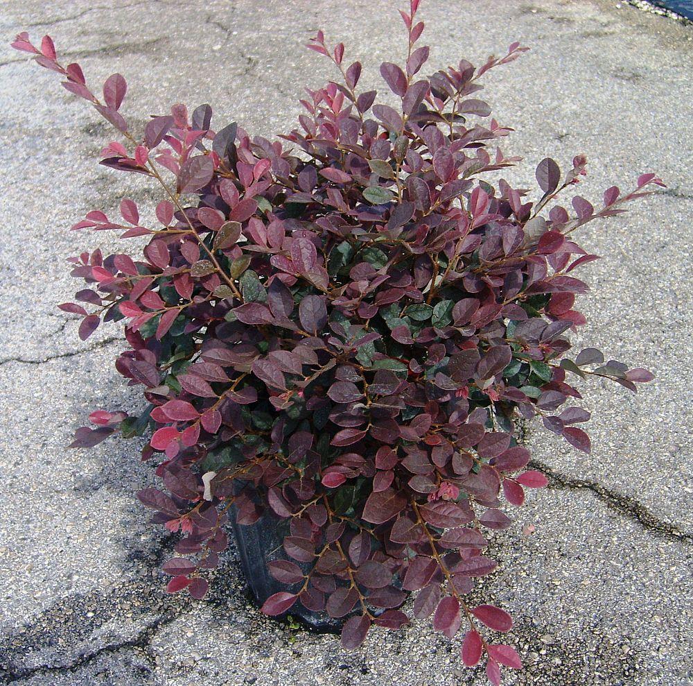 Loropetalum Chinense Rubrum Ruby Chinese Fringe Flower