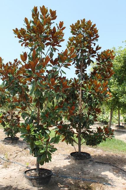 Magnolia Grandiflora D D Blanchard Plantant Com