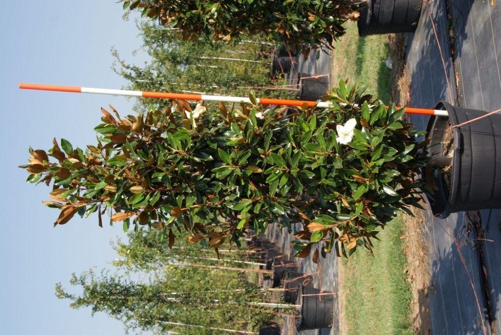 Magnolia grandiflora little gem southern magnolia 1000094719 1343828388gwidth1000height1000imagepublicsupplierimagesplants1000094719 1343828388g sciox Gallery