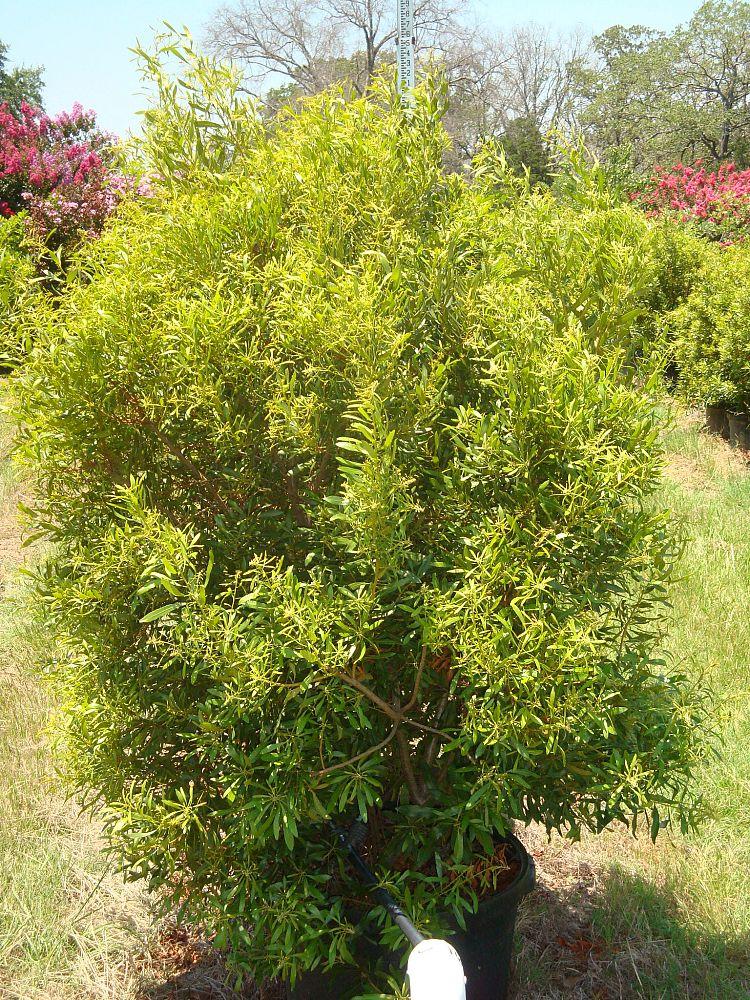 Wax Myrtle Plantant Com