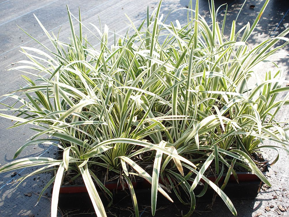 30g for Variegated grass with purple flower