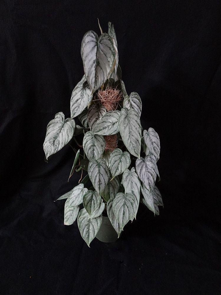 Marble Queen Pothos Hanging
