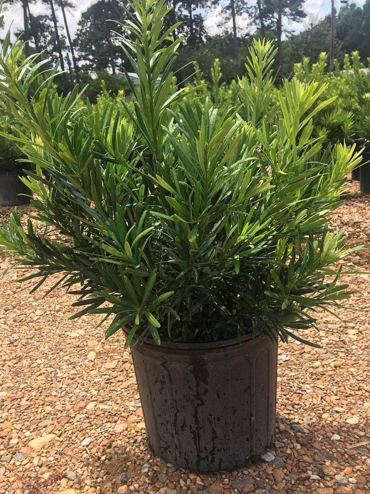 Podocarpus Macrophyllus Pringles Dwarf Plantant Com