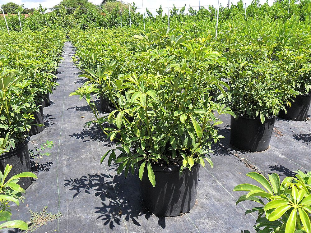 schefflera-arboricola-emerald-green-umbrella-tree
