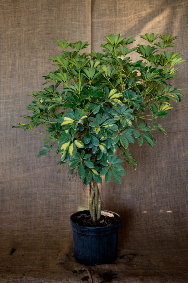 schefflera arboricola 39 gold capella 39 umbrella tree. Black Bedroom Furniture Sets. Home Design Ideas