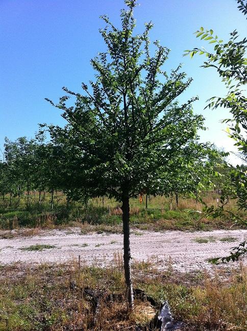 Gallery - Southeastern Trees Wholesale Nursery