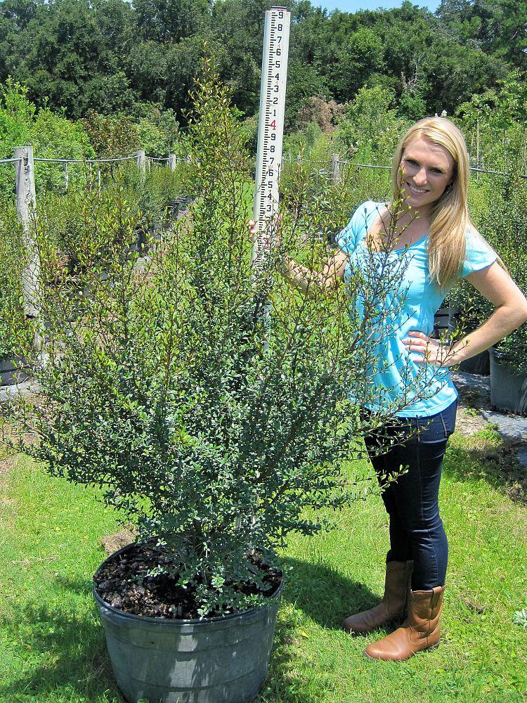 Walters Viburnum Plantant Com