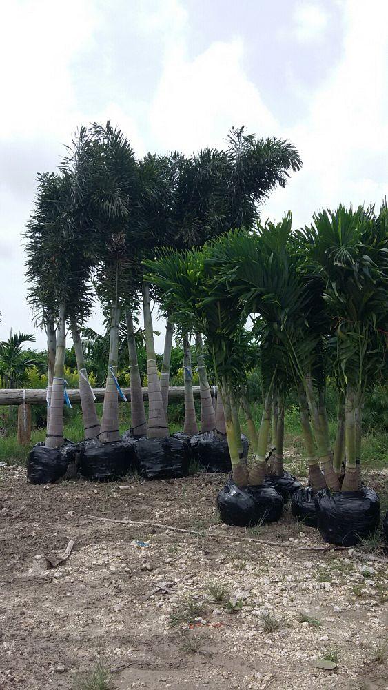 Foxtail Palm Plantant Com