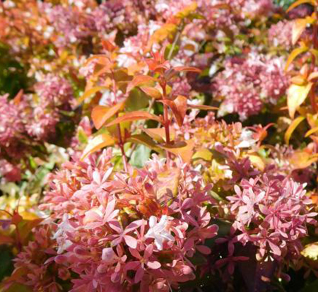 abelia-peach-perfection