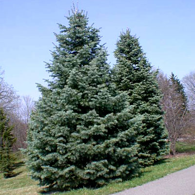 abies-concolor-white-fir