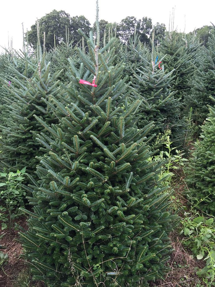 abies-fraseri-fraser-fir