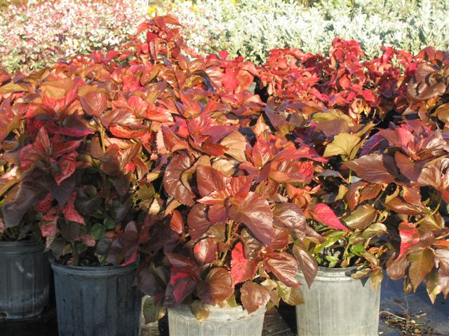 acalypha-brazen-copperleaf-jacob-s-coat