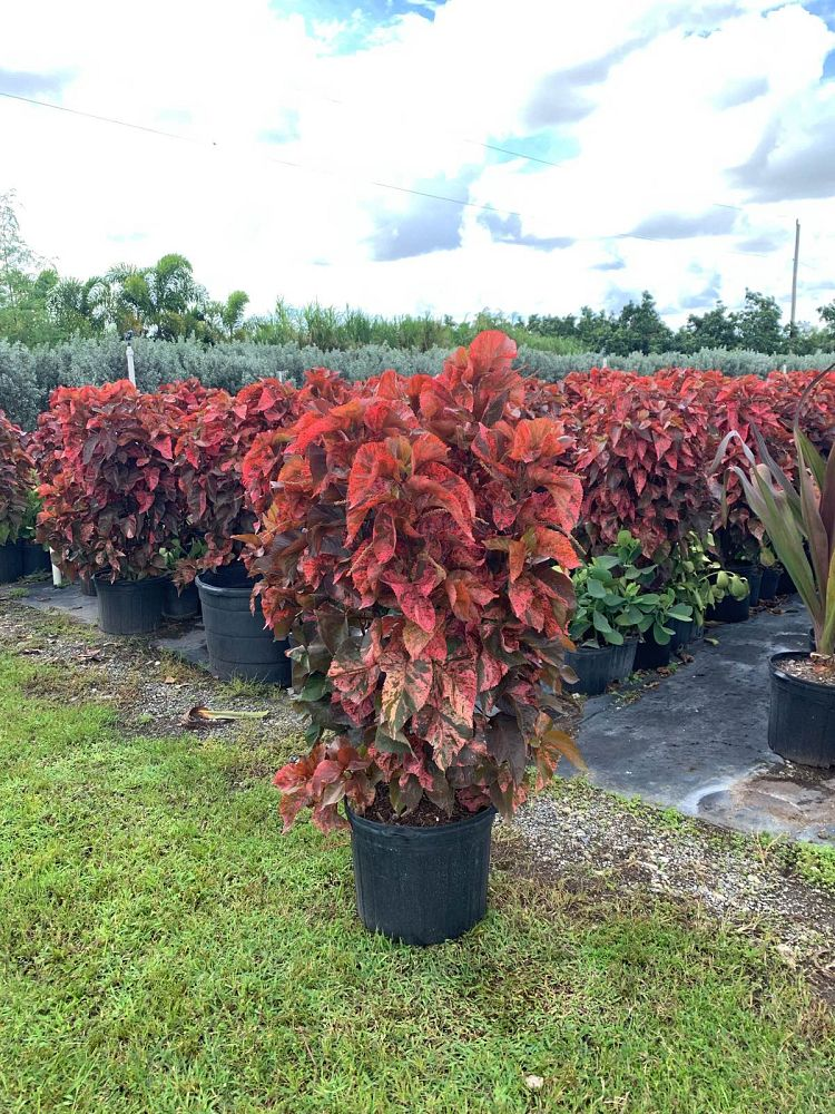 acalypha-copperleaf-jacob-s-coat