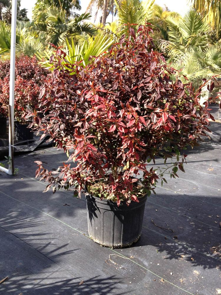 acalypha-fire-and-ice-copperleaf-jacob-s-coat