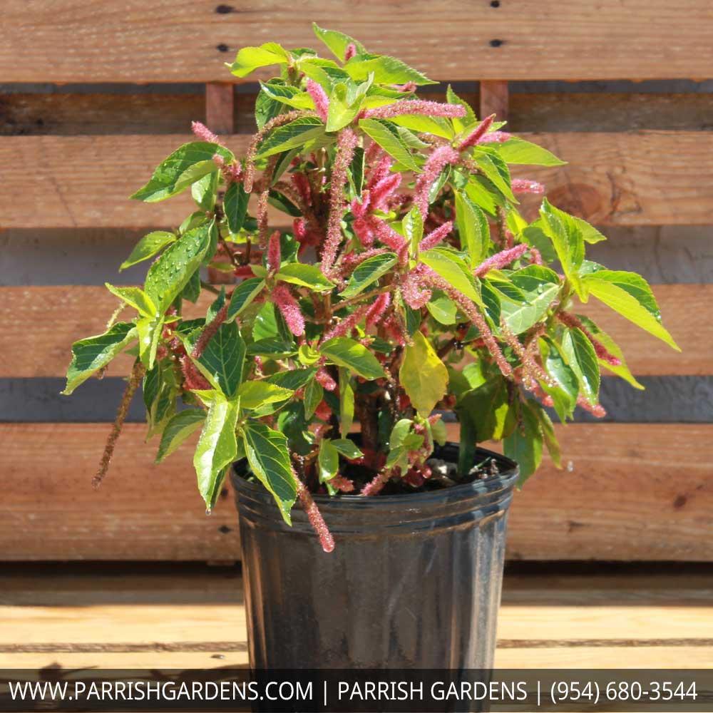 Parrish Nursery Plantantcom