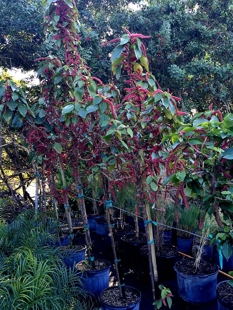 acalypha-hispida-chenille-plant