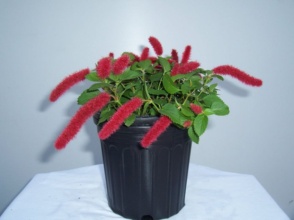 acalypha-pendula-dwarf-trailing-chenille-plant-firetail