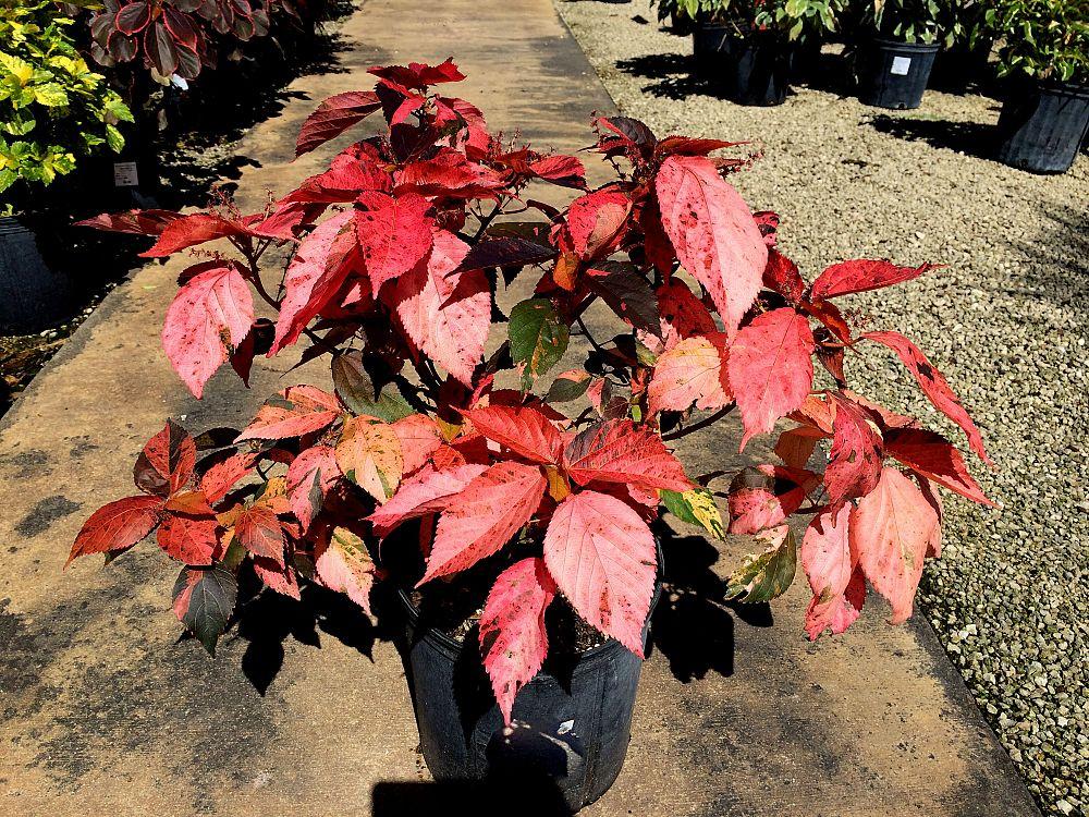 Black Olive East Nursery Plantantcom