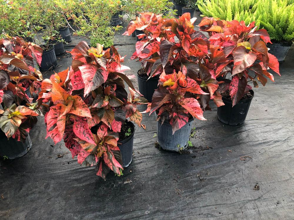 acalypha-wilkesiana-copperleaf