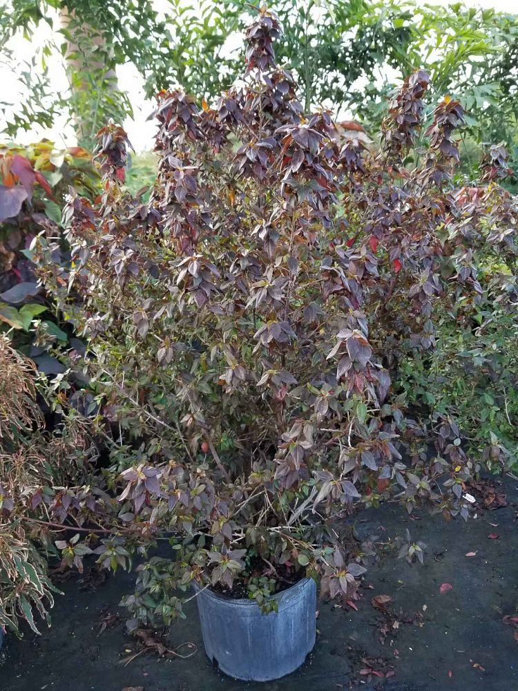 acalypha-wilkesiana-inferno-copperleaf