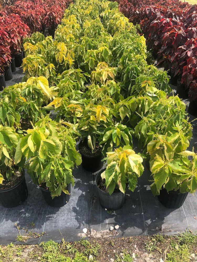Plant Pixie Plantantcom