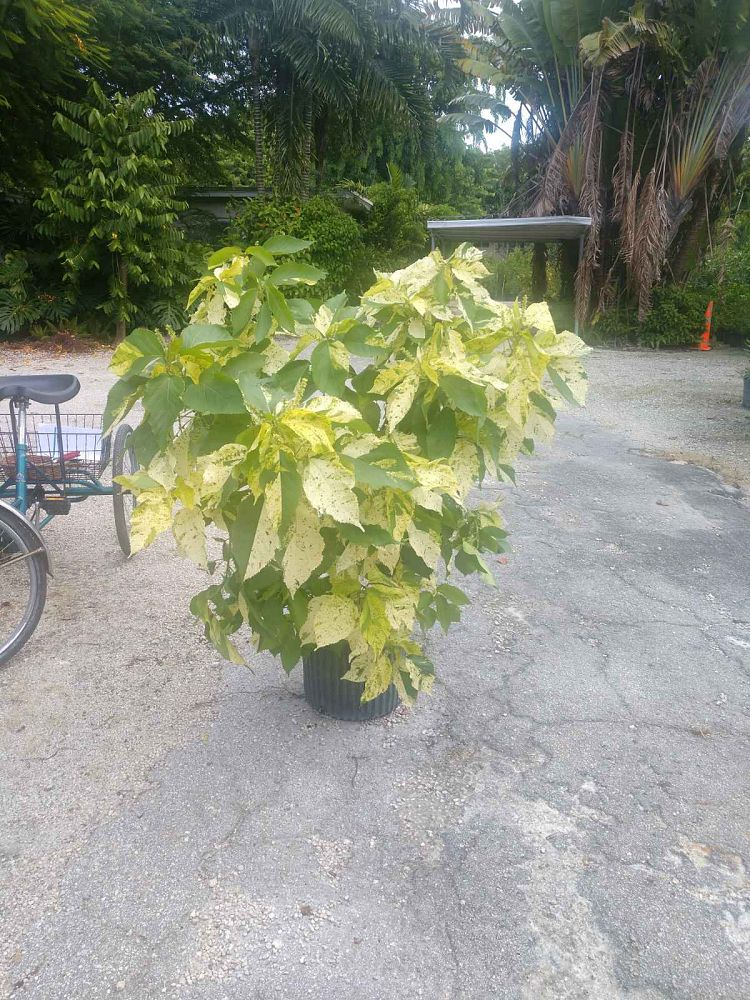 acalypha-wilkesiana-java-white-copperleaf