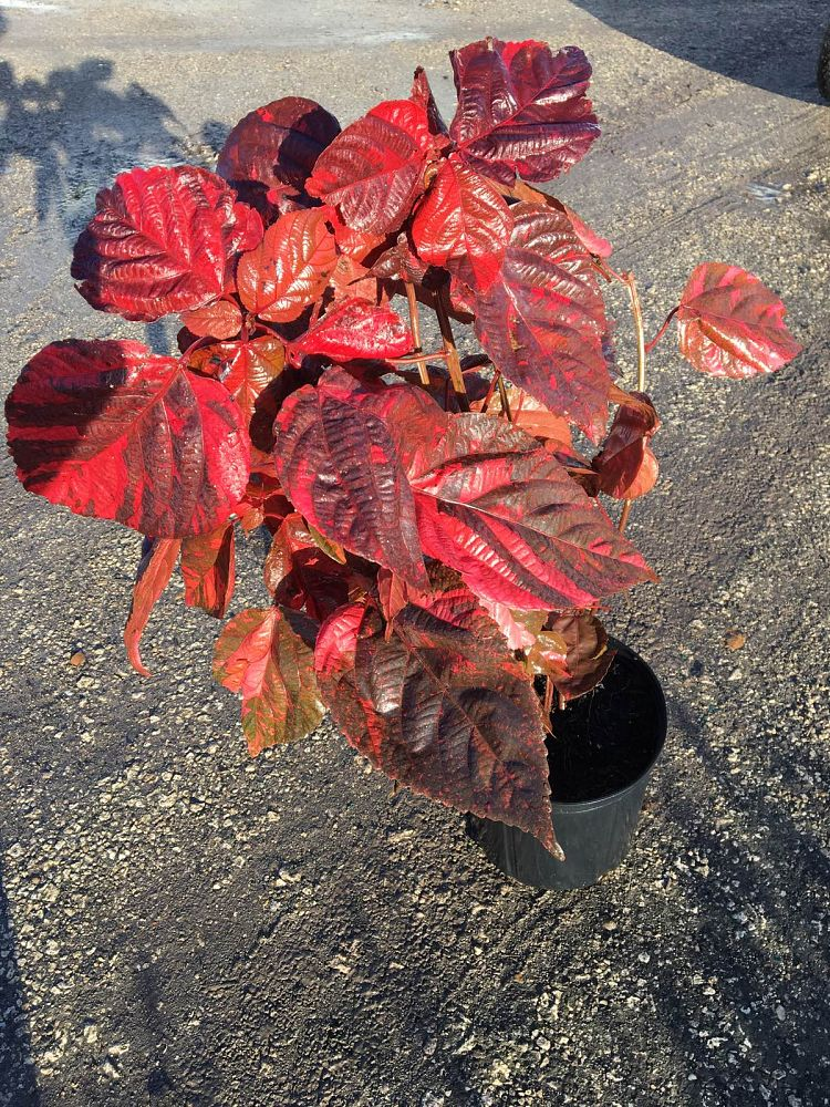 acalypha-wilkesiana-louisiana-red-copperleaf