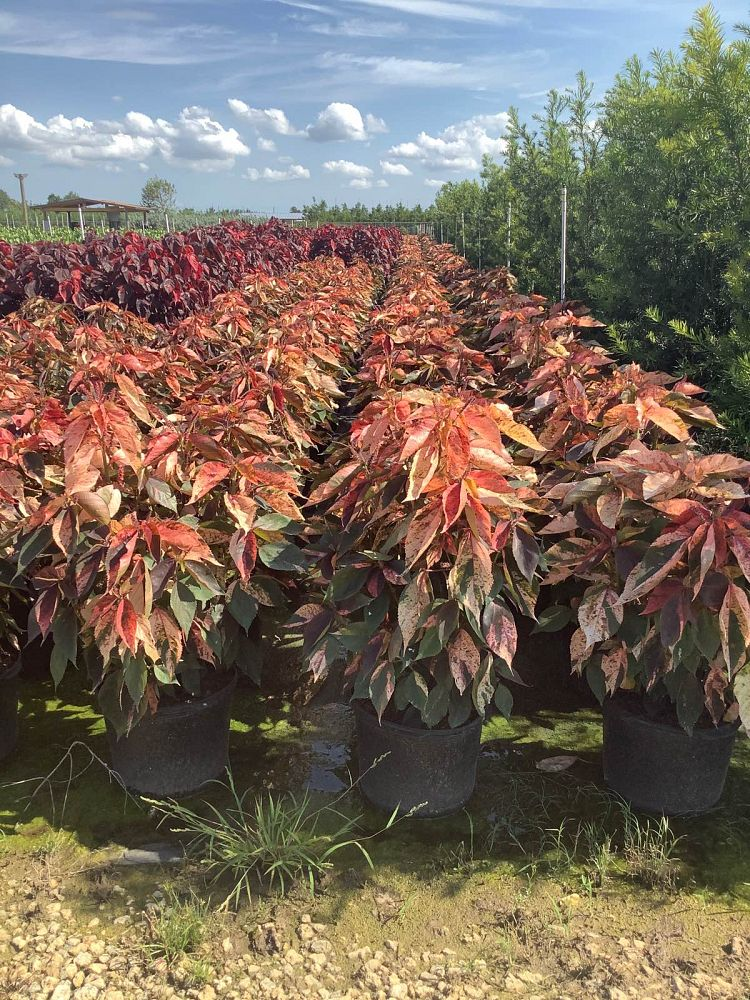 acalypha-wilkesiana-tricolor-copperleaf
