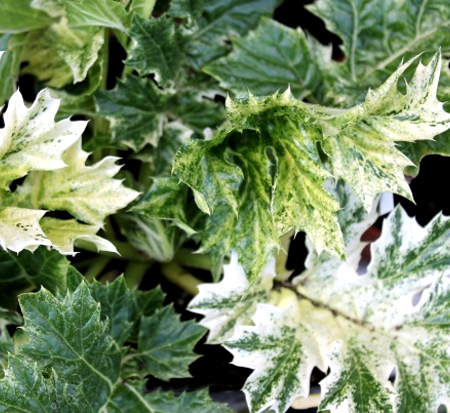 acanthus-whitewater