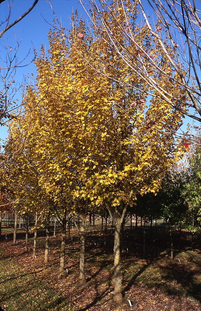 acer-campestre-metro-gold-hedge-maple