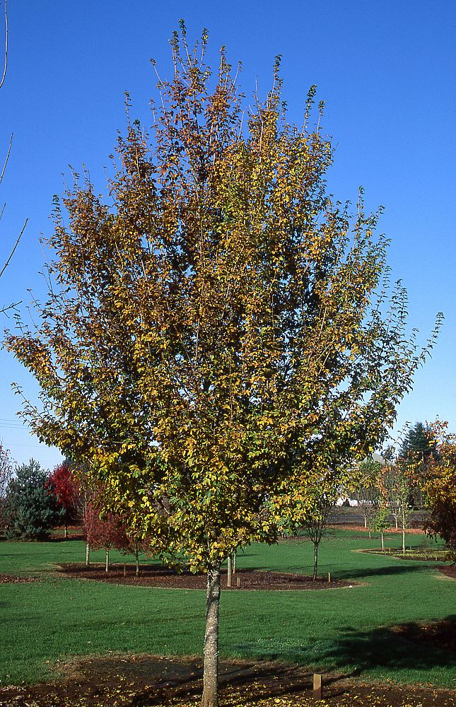 acer-campestre-queen-elizabeth-hedge-maple