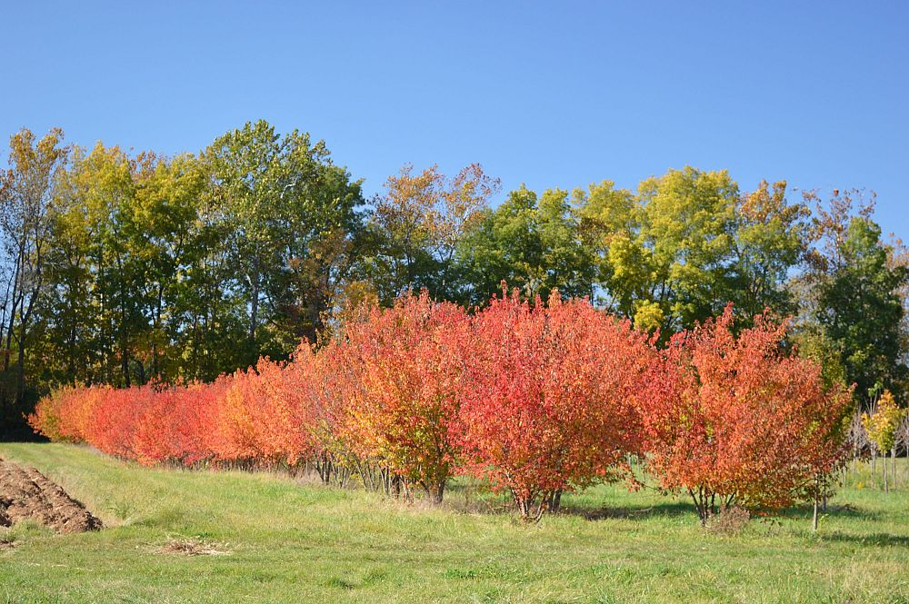 acer-ginnala-flame-amur-maple