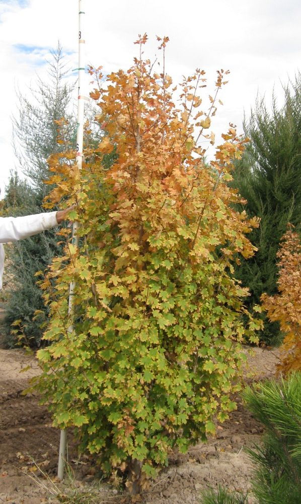 acer-grandidentatum-bigtooth-maple