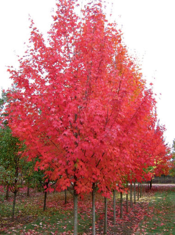 acer-grandidentatum-x-saccharum-hipzam-bigtooth-maple-highland-park