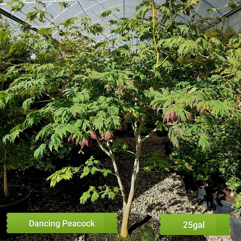 acer-japonicum-aconitifolium-full-moon-maple-dancing-peacock-japanese-maple