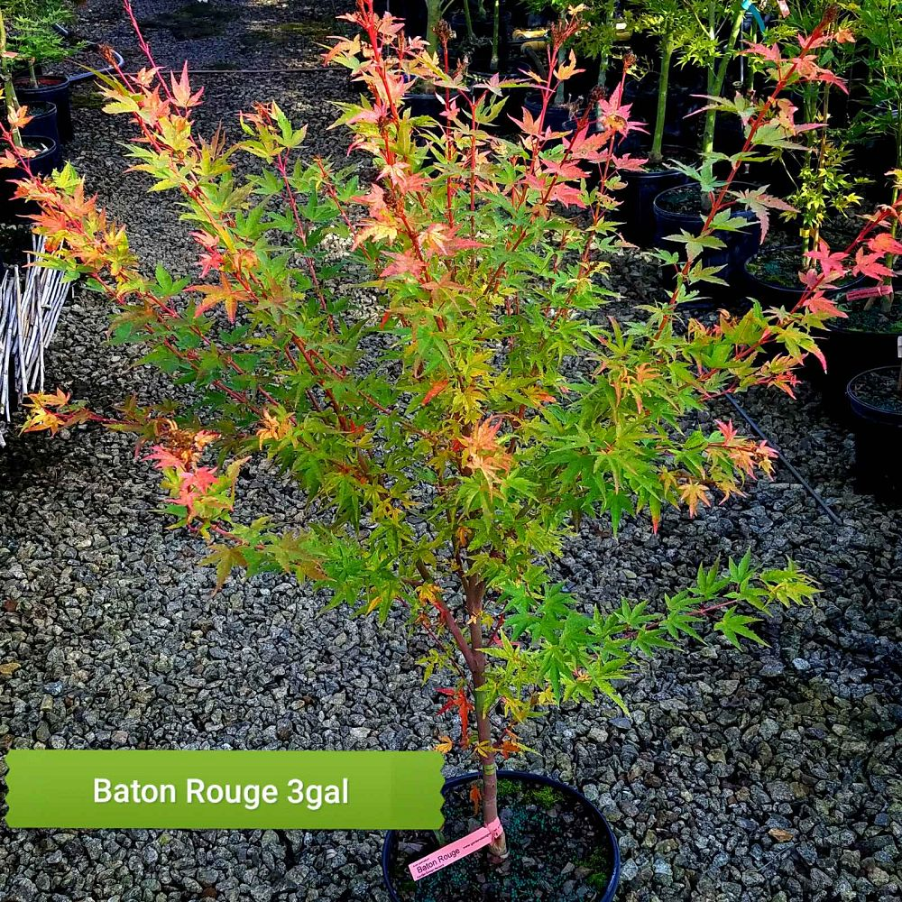 acer-palmatum-baton-rouge-japanese-maple