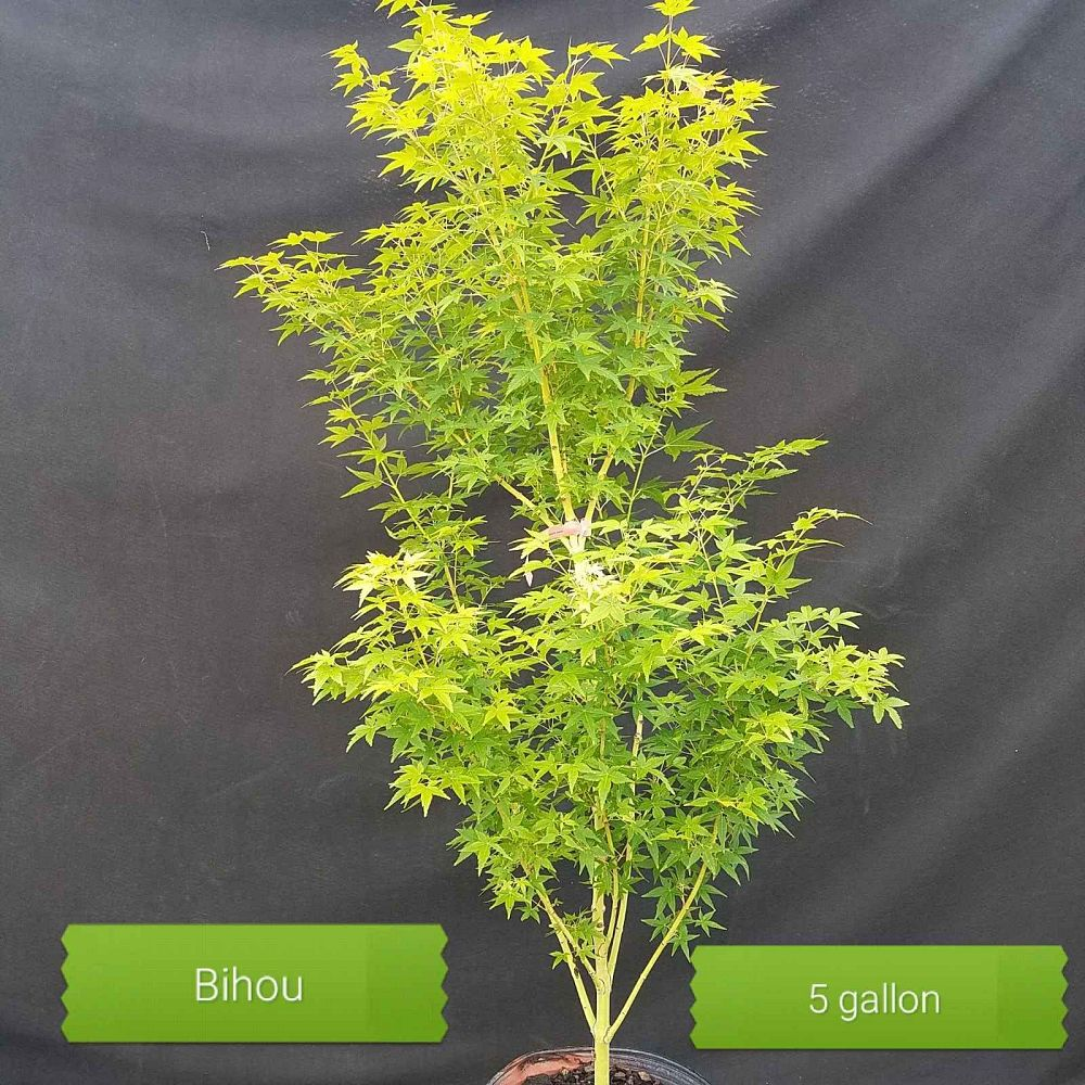acer-palmatum-bihou-japanese-maple-golden-bark